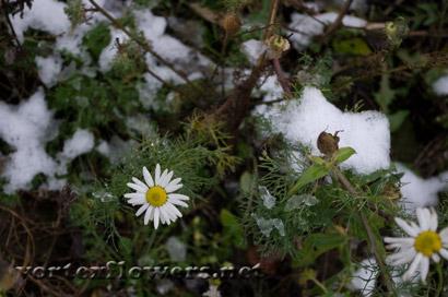 Ромашки в снегу фото
