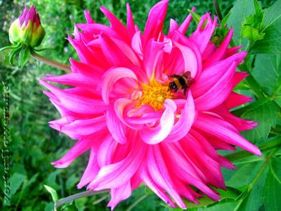 георгина-с-пчелкой