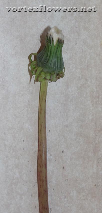 как сделать так, чтобы семена с одуванчика не разлетались