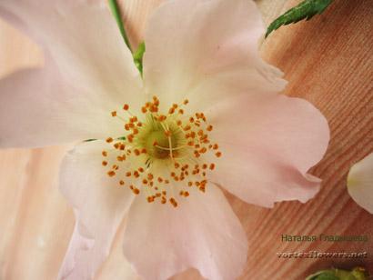 цветок шипоника