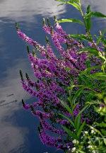 Дербенник, легенды о растении и красивые фото