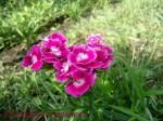 Гвоздика турецкая, строение цветка