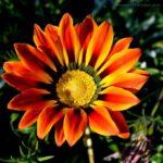 Как правильно выращивать гацанию из семян в домашних условиях