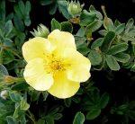 Лапчатка – кустарник, способный преобразить ваш сад!