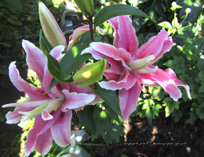 строение лилии