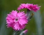 Гвоздика-божественный цветок