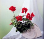 Герань в японской технике цветоделия