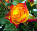 7 частых ошибок при выращивания роз