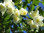 Чубушник — король садовых кустарников на вашем участке